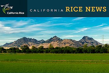 cal_rice_news_2